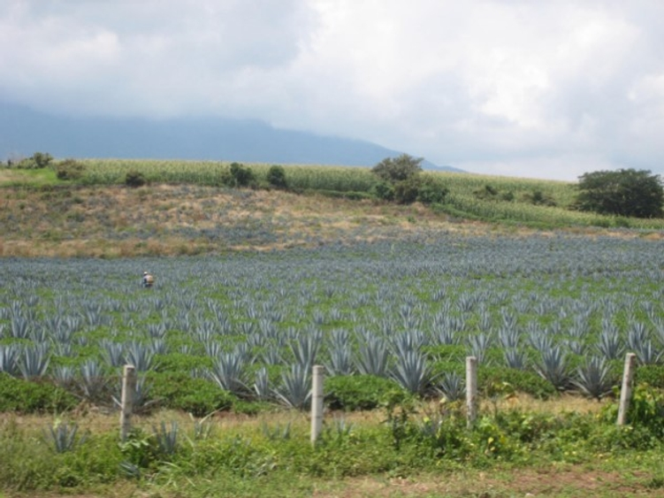 Photo: A blue agave field near the town of Tequila in the state of Jalisco, Mexico.